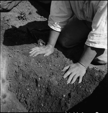 Centerville, California. Hands of woman farm- worker preparing soil for transplanting tomato plants . . .