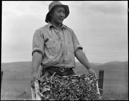 Centerville, California. Harvesting cauliflower on a ranch near Centerville on April 9, 1942, while . . .
